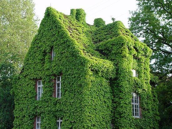 ivy landscape fail