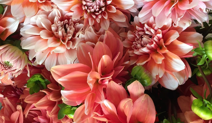 A bundle of pink dahlias