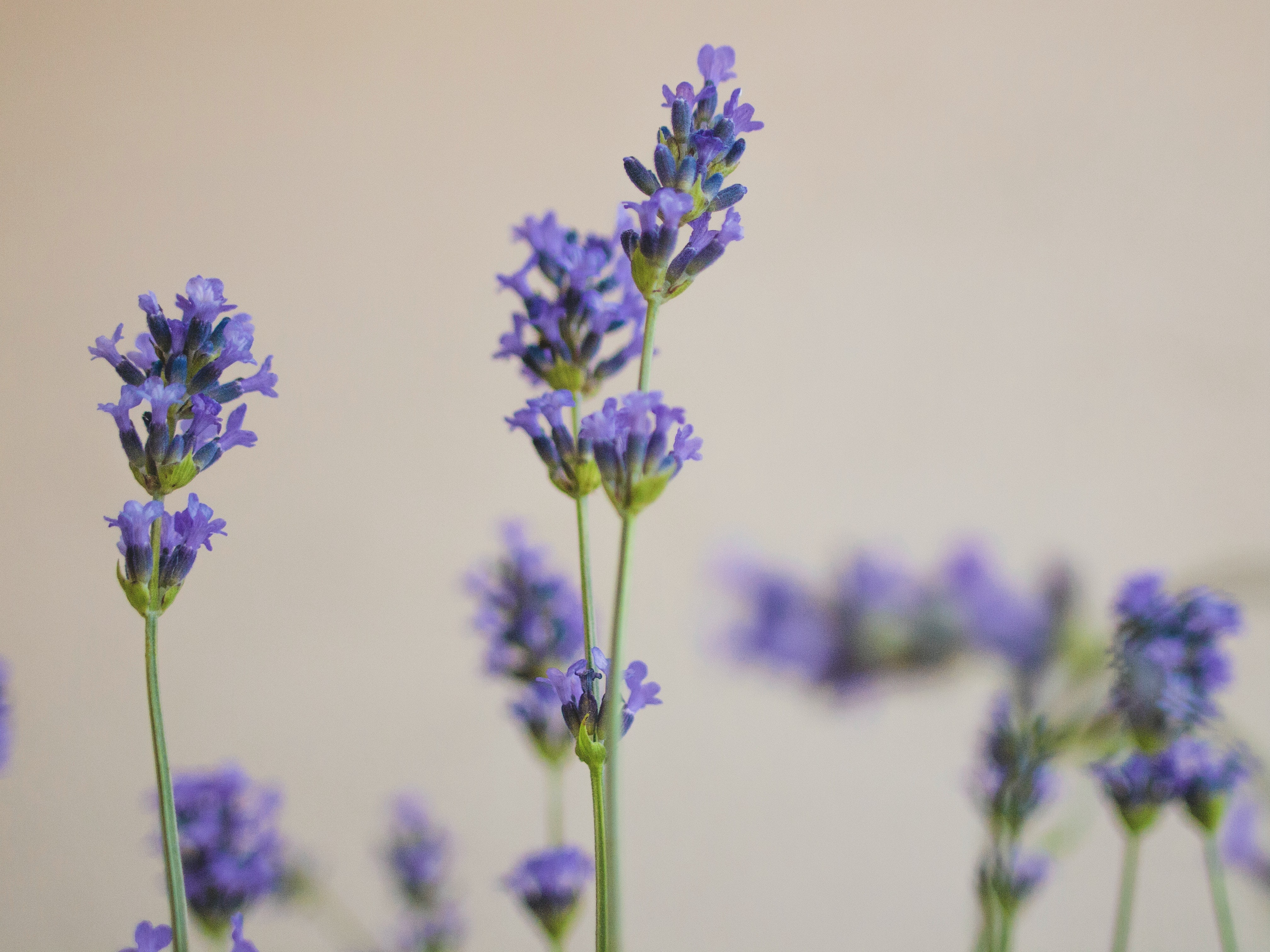 Close-up of blooming lavender
