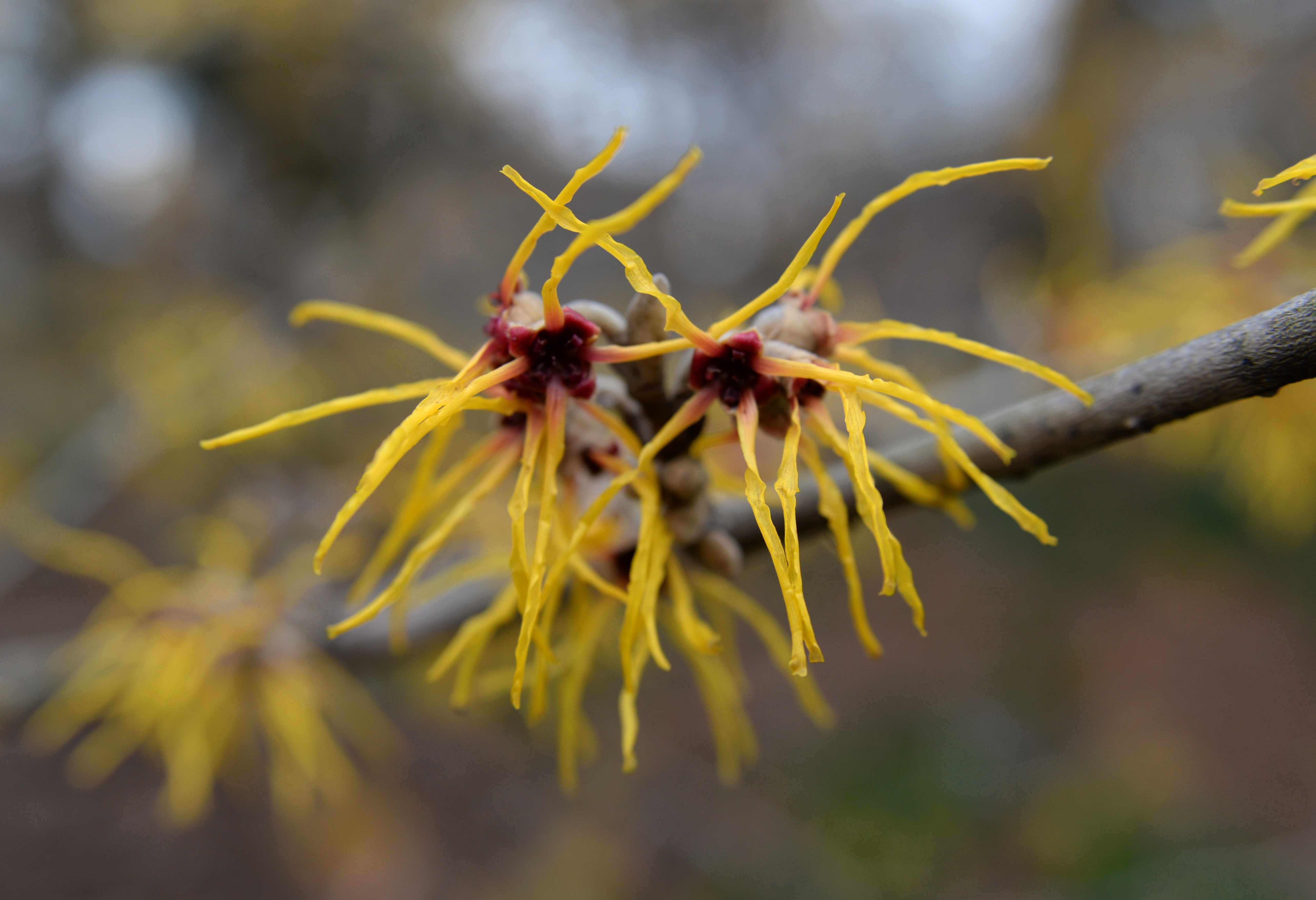 Close-up of blooming witch hazel