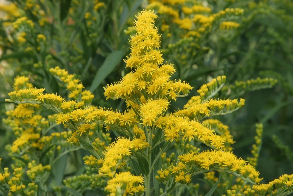 Goldenrod plant with yellow blooms