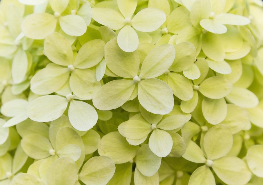 Light Green Hydrangeas