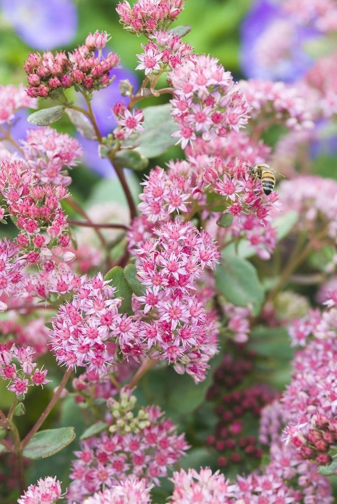 Sedums Blooming