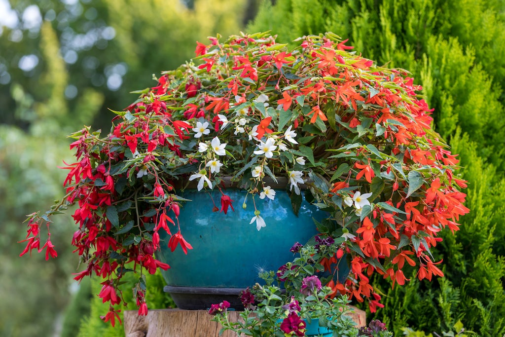 Begonias as a container plant